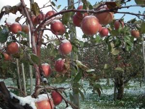 初雪がうっすら積もったりんご畑