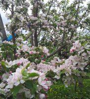 りんごの花が咲きました