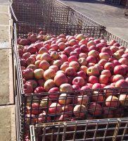 朝一番で加工用りんごを出してきた